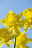 Daffodil, Narcissus 'King Alfred', Low front view of a group of classic shape yellow flowers in sunlight against a blue sky.