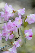 Rhododendron, Rhododendron 'Airy fairy', Side view of a couple of springs of pink flowers with long white stamens.