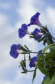 Morning Glory, Ipomoea, backlit against sky viewed from  below.