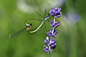 Lavender, Lavandula, two Dragonflies on flowers.
