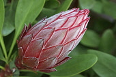 Protea, Close up showing pattern of flower bud.