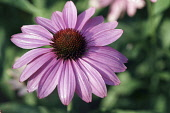 Ecihinacea, Purple coneflower, Echinacea purpurea, One flower seen from top view, showing the dark centre cone against the pink petals.