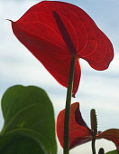 Painters Palette Flamingo Flower, Anthurium scherzerianum,  Close view of one red backlit flower against blue sky, showing the proboscis silloutted shadow.