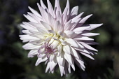 Dahlia, Dahlia 'Eileen Denny', Close view in sunlight of one flower with white and pale pink spikey petals.