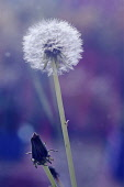 Dandelion, Taraxacum officinale, Side view of clock or seedhead and another forming.