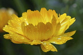 Marigold, Calendula officinalis, Close side view of one yellow orange flower with raindrops.