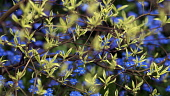 Dogwood, Wedding cake tree, Cornus controversa 'Variegata', View through several interwoven branches sporuting new shoots of yellow and green variegated leaves, to a mass of blue forget-me-nots, Myoso...