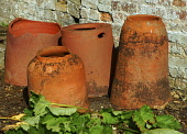 Rhubarb, Rheum rhabarbarum, A small plant in front of four terracotta forcing pots beside a crumbly brick wall.