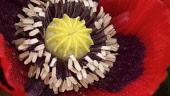 Poppy, Oriental poppy, Papaver orientale, Close view of the centre of a red  flower showing the stamens and the seedhead forming.