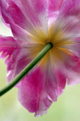 Tulip, Parrot tulip, Tulipa, Underneath view of single fully open pink flower with yellow at the centre of the petals.