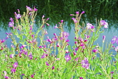 Rosebay willowherb, Chamaenerion Angustifolium, Side view of masses of pink flowers beside a canal.
