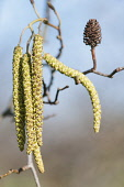 Alder, Grey Alder, Alnus incana, Front view of a bunch of male catkins and a cone from the previous year behind.