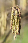 Alder, Grey Alder, Alnus incana, Front view of a bunch of male catkins.