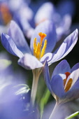 Crocus, Crocus etruscus 'Zwanenburg', Close side view of an open blue mauve flower among others, showing the orange stigma and pollen covered stamens.