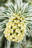 Spurge, Mediterranean spurge, Euphorbia characias 'Tasmanian Tiger', Front view of one yellow flowerhead emerging from variegated leaves.