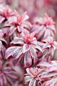 Spurge, Wood spurge, Euphorbia amygdaloides 'Frosted flame', Several pink tinged variegated foliage tips.