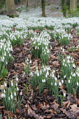 Snowdrop, Galanthus nivalis, A mass of clumps of flowering plants among dried leaves with woodland behind.