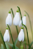 Snowdrop, Galanthus nivalis, Close view of several closed flowers hanging together against a pale brown background.