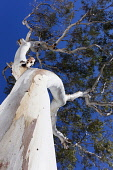 Eucalyptus, Blue Gum, Eucalyptus globulus, Underneath view looking up the peeling bark on the white trunk of the tree.