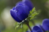 Anemone, Anemone coronaria, side view of blue coloured floer.