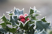 Holly, Ilex aquifolium, close up showing sikey leaves and red berries.