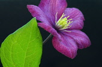 Clematis, Clematis 'Ville de Lyon', Close up of purple flower showing yellow stamen.