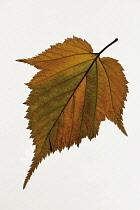 Field maple, Acer campestre, Single orange green colour spring leaf against white background.