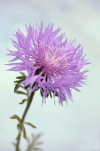 Persian Cornflower, Centaurea dealbata, Side view of one pink flower with fringed petals against pale blue sky.