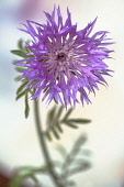 Persian Cornflower, Centaurea dealbata, Side view of one pink flower with fringed petals against light background.
