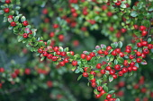Cotoneaster, Cotoneaster x suecicus 'Coral Beauty', Front view of twig closely packed with lots of small green leaves and red berries, Rest of shrub behind in soft focus.