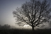 Oak, Common oak, Quercus robur, Side view of fairly mature tree with no leaves, silhouetted against the misty dawn sky in an English field.