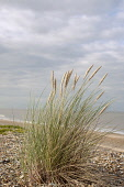 Grass, Marram grass, Ammophila arenaria, Flowering clump growing in shingle on a suffolk beach in UK, Sea and sky behind.