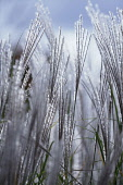 Grass, Eulalia, Miscanthus sinensis 'Kleine Silberspinne', Low front view of several silvery feathered plumes of flowers backlit.