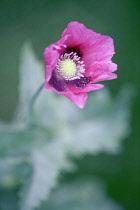 Opium poppy, Papaver somniferum, Front view of pink flower with dark splodges held above soft focus pale blue green foliage.