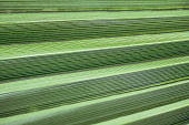 Palm, Fan palm, Abstract view of folds of a palm leaf creating steps or ridges.