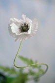 Shirley poppy, Papaver rhoeas Shirley series, Front view of one white flower with black stamens in a curved stem and soft focus leaves behind, Against pale blue sky.