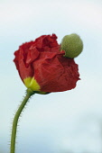 Icelandic poppy, Papaver nudicaule 'Champagne Bubbles', Side view of one opening flower with crinked red petals with yellow centres, pushing off its bud casing, on hairy stalk, Against pale blue sky.