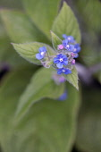 Green Alkanet, Pentaglottis sempervirens, Top view of cluster of blue flowers with white eye atop hairy green leaves.