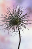 Pasque flower, Pulsatilla pratensis, Fluffy seedhead with dark strands silhouetted against pink and blue mottled background.