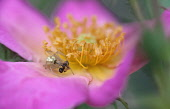 Rose, Rosa 'Summer Breeze', Very close view of open pink flower with yellow stamens and a small spider capturing an ant.