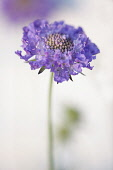 Scabious, Scabiosa columbaria 'Blue note', Side view of open lilac flower with same colour stamens against soft focus white background, Selective focus.
