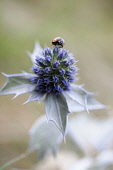Sea holly, Eryngium maritimum, Close view of one flower with a ladybird on top.