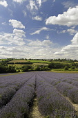 Lavender, Lavandula angustifolia, A field with furrows of lavender leading to countryside behind and blue cloudy sky above,
