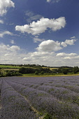 Lavender, Lavandula angustifolia, A field with furrows of lavender leading to countryside behind and blue cloudy sky above.