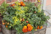 Marigold, Tagetes erecta planted closely with tomato, Lycopersicon esculentum in a wooden fruit crate,