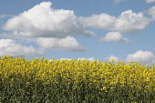 Brassica, Oilseed rape, A mass of yellow flowers against blue sky.