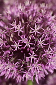 Allium 'Gladiator', Close up detail of mass of pink star shaped flowers.