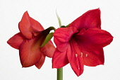 Amaryllis, Hippeastrum 'Red Lion', Two red flowers on a long stem against a white background.