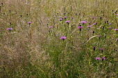 Knapweed, Centaurea nigra, Wild flower meadow in England, East Sussex, Rotherfield, with grasses and pink flowering knapweed.