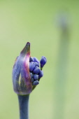 Agapanthus africanus, Close view of blue purple flowers emerging from sheath.